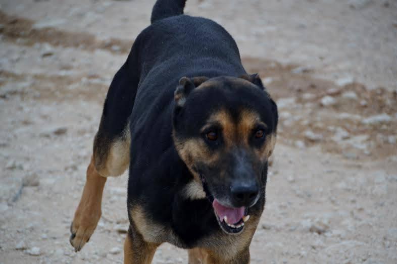 RAMBO croisé berger allemand né en janvier 2007 Rambo213