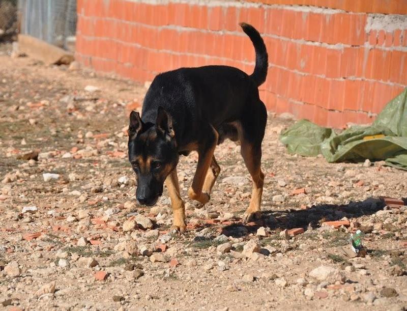 RAMBO croisé berger allemand né en janvier 2007 Rambo410