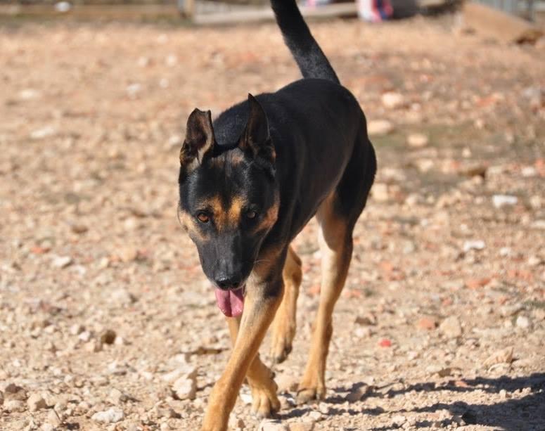 RAMBO croisé berger allemand né en janvier 2007 Rambo510