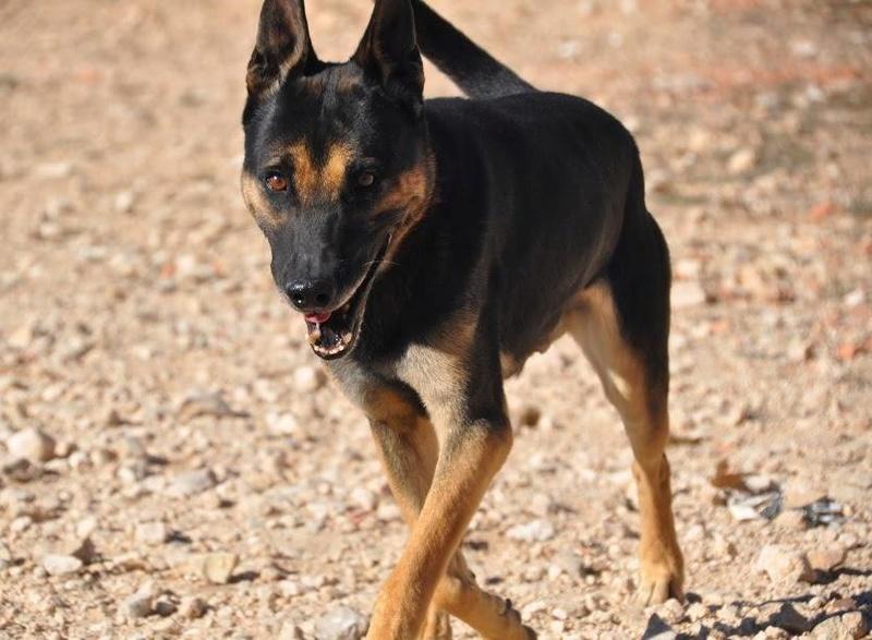 RAMBO croisé berger allemand né en janvier 2007 Rambo610