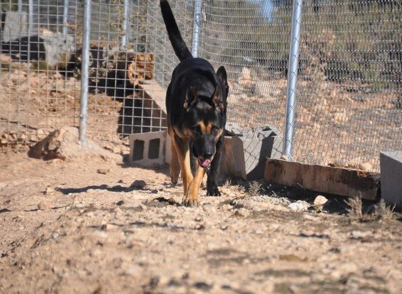 RAMBO croisé berger allemand né en janvier 2007 Rambo710