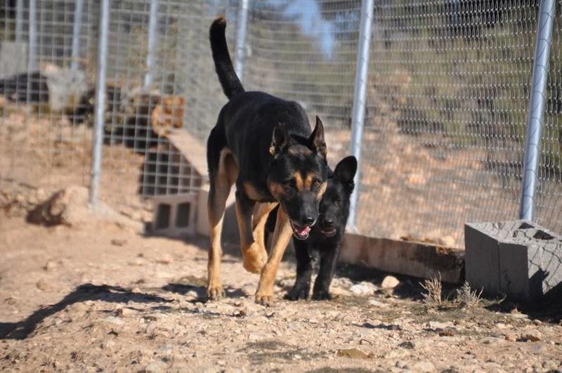 RAMBO croisé berger allemand né en janvier 2007 Rambo810