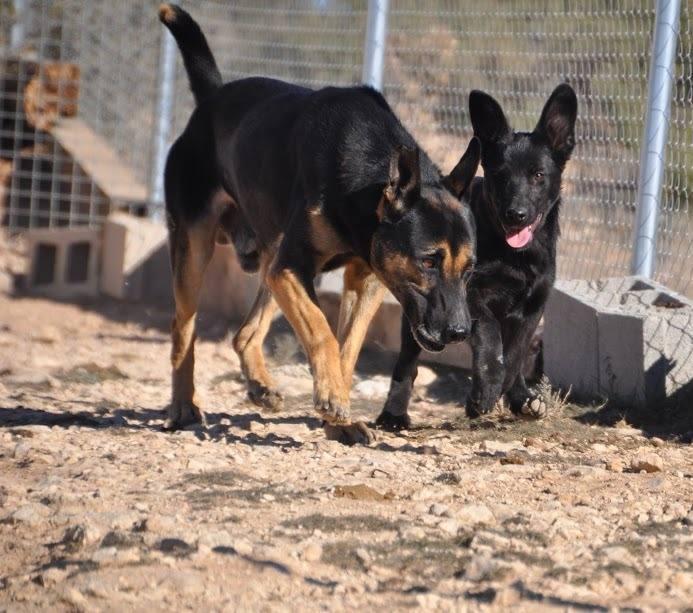 RAMBO croisé berger allemand né en janvier 2007 Rambo910