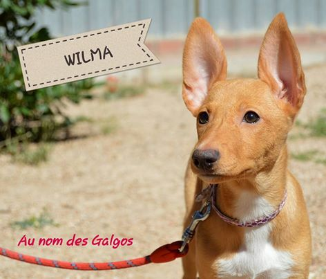 Chiots podenco nés en mars 2016 Wilma11
