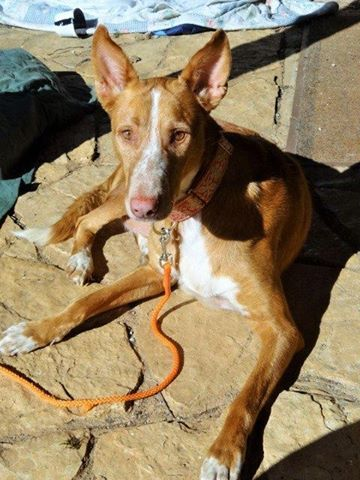 WIND , podenco tendresse 3 ans /  en accueil Wind11