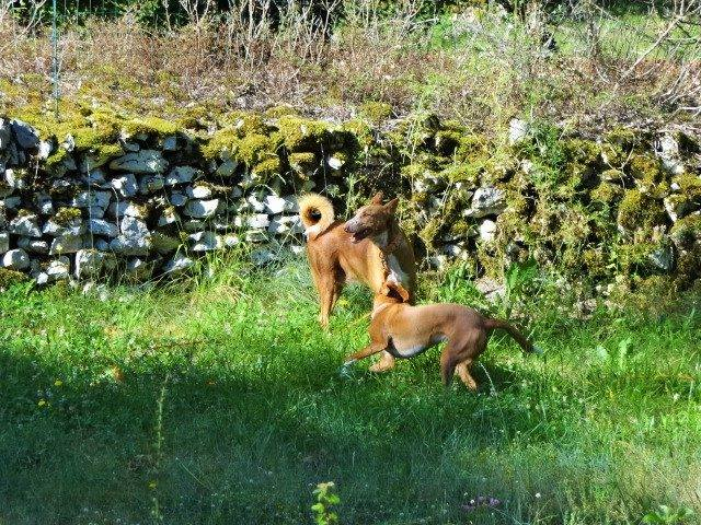 WIND , podenco tendresse 3 ans /  en accueil Wind111