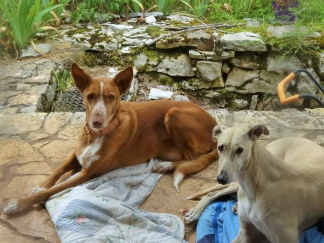 WIND , podenco tendresse 3 ans /  en accueil Wind112
