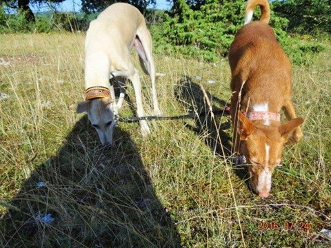 WIND , podenco tendresse 3 ans /  en accueil Wind13