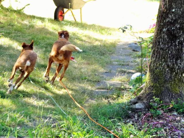 WIND , podenco tendresse 3 ans /  en accueil Wind211