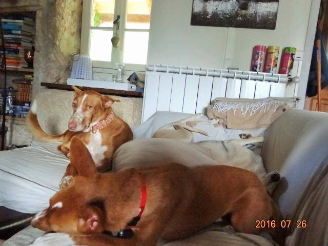 WIND , podenco tendresse 3 ans /  en accueil Wind212