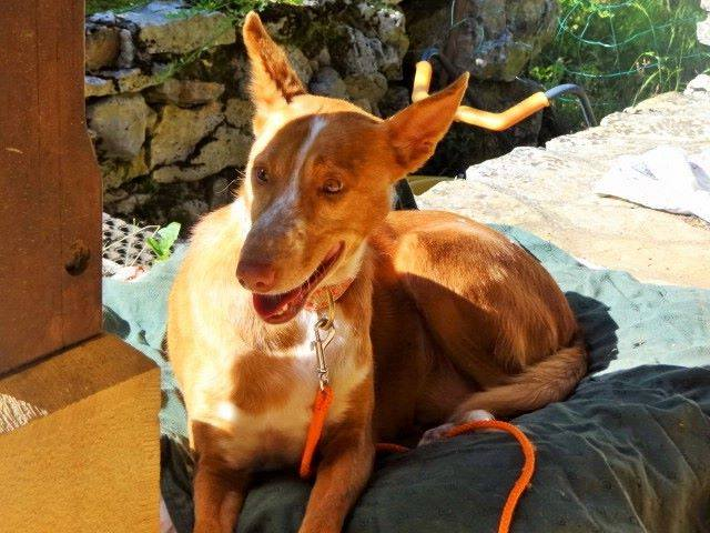 WIND , podenco tendresse 3 ans /  en accueil Wind310