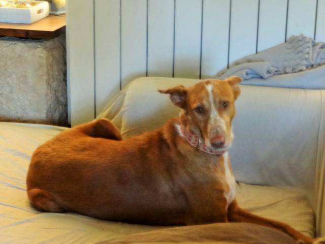 WIND , podenco tendresse 3 ans /  en accueil Wind411