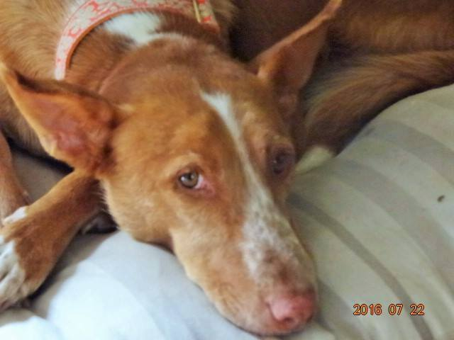 WIND , podenco tendresse 3 ans /  en accueil Wind412