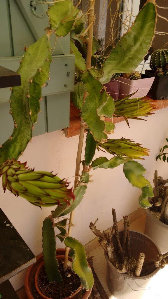 Hylocereus undatus, fruit du dragon- Pitaya ou Pitahaya - Page 4 Img_2023