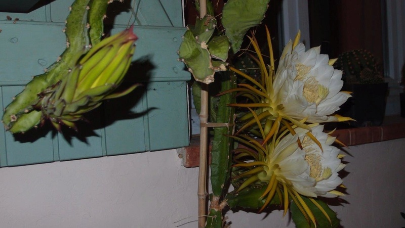 Hylocereus undatus, fruit du dragon- Pitaya ou Pitahaya - Page 4 P8031210
