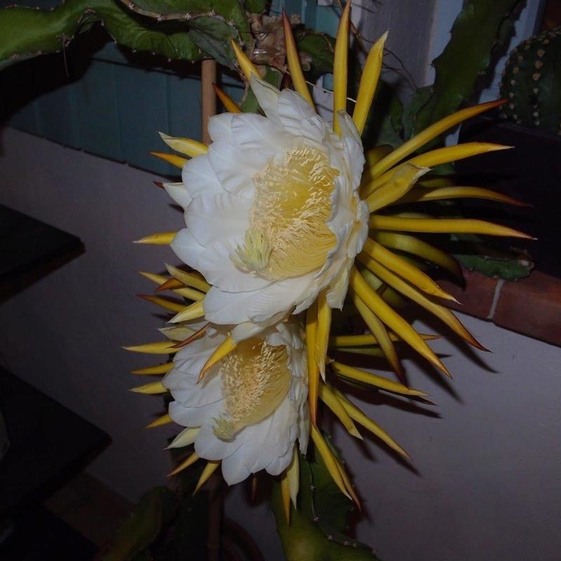 Hylocereus undatus, fruit du dragon- Pitaya ou Pitahaya - Page 4 P8031211