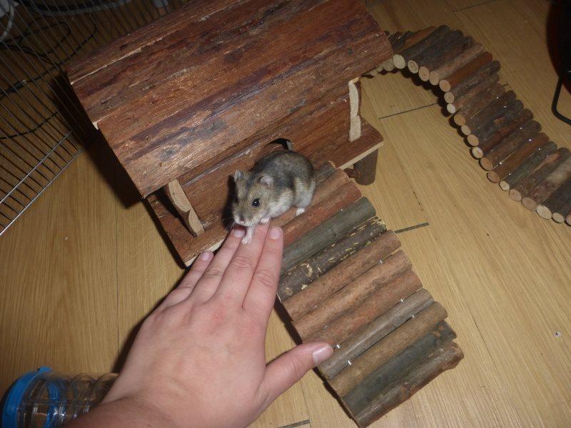 Photos de vos hamsters russes  12794410