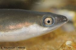 L'anguille européenne Anguil11