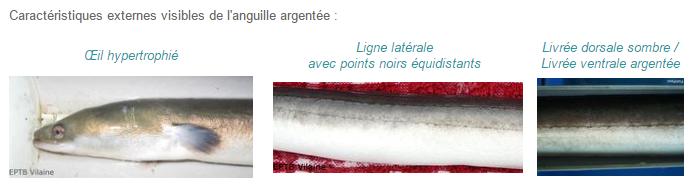L'anguille européenne Caract10