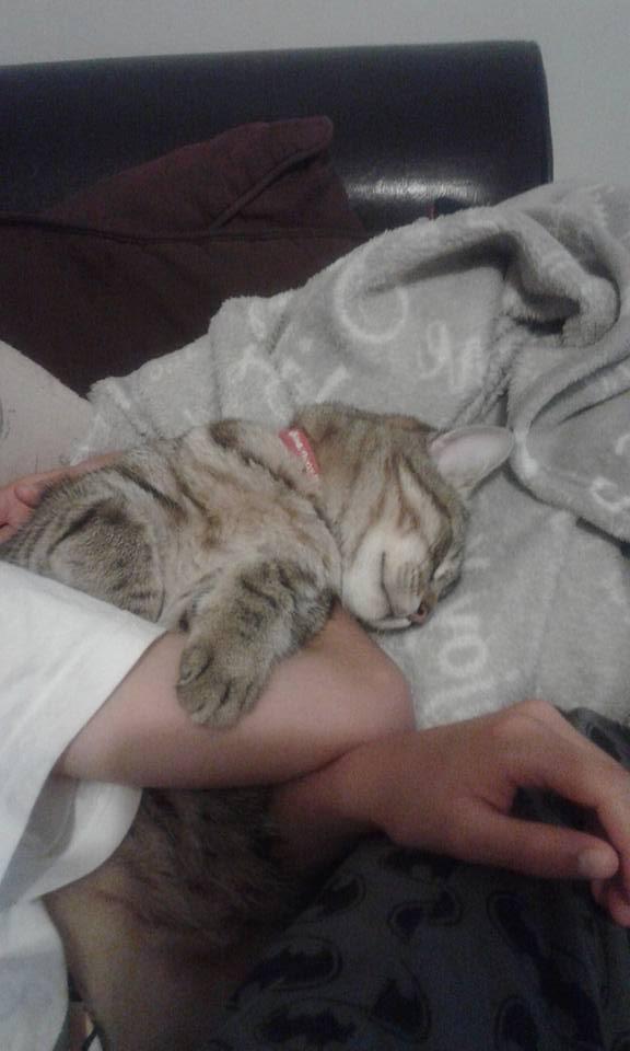 Lary chaton tigré, né le 20/08/2015 13315210