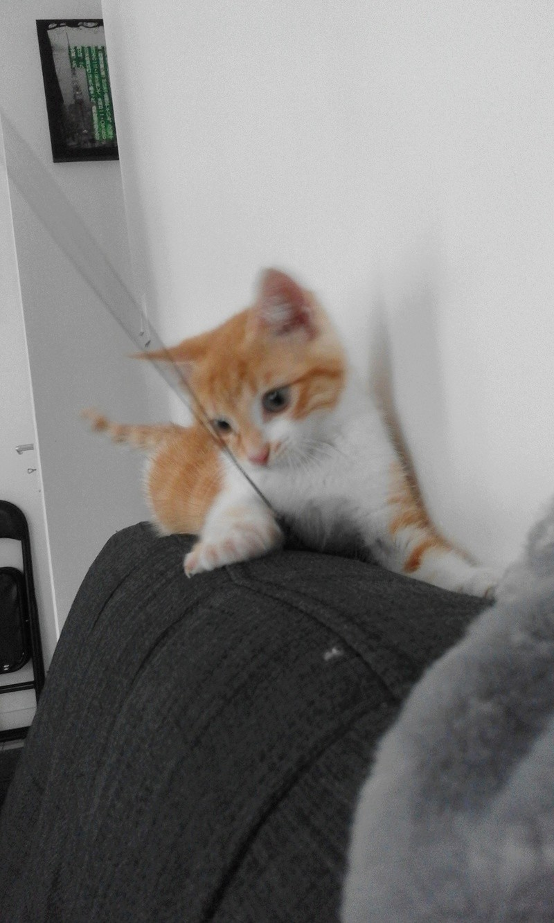 moise - Moïse-chaton tigré roux et blanc-né le 15/03/2016 20160641