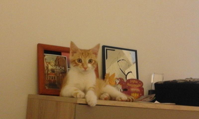 moise - Moïse-chaton tigré roux et blanc-né le 15/03/2016 20160721
