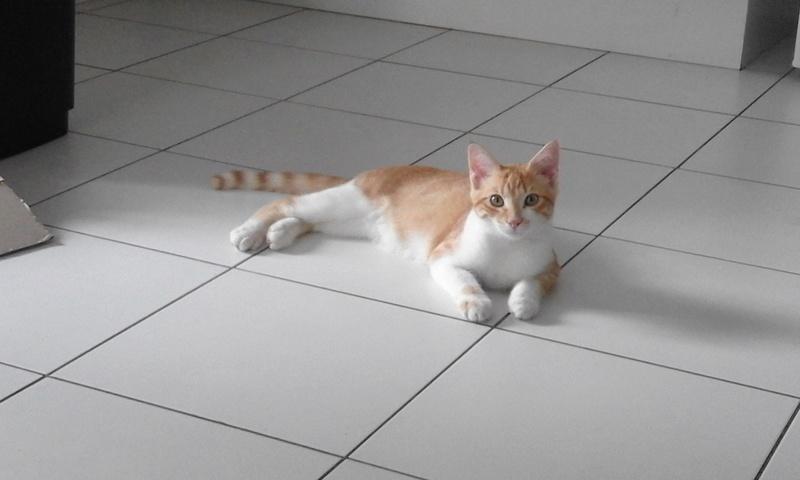 moise - Moïse-chaton tigré roux et blanc-né le 15/03/2016 20160821
