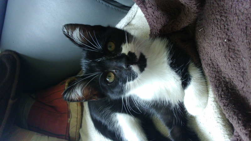 mistinguette - Mistinguette femelle noire et blanche née le 01/03/16 Dsc_1014
