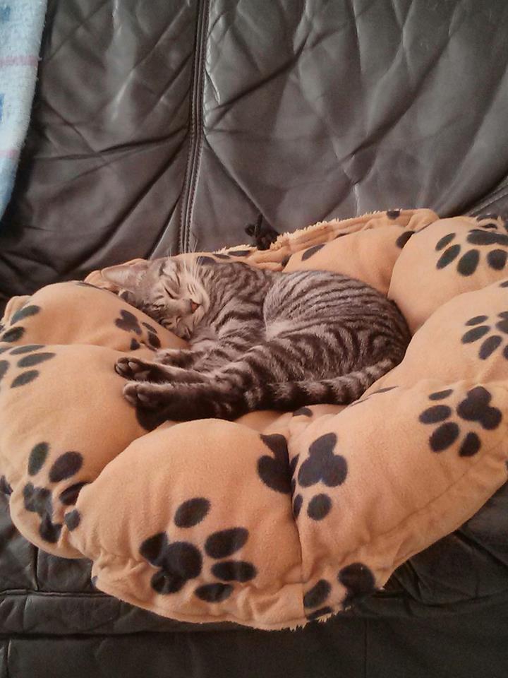 loula - LOULA, chatte européenne tigrée grise, née en Juillet 2015 Lou10