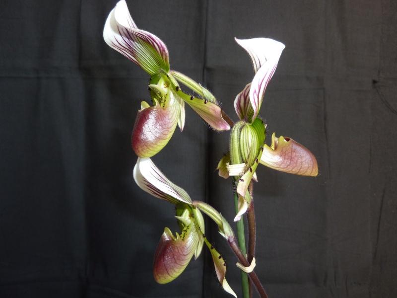Paphiopedilum callosum P1040042