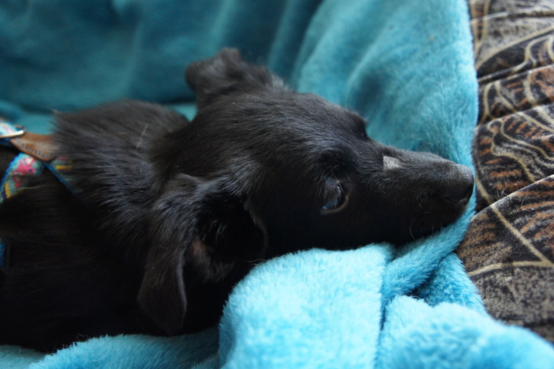 COSMO, chiot mâle, né en mars 2016 - Pascani - adopté par Priscillia (dep 31) - Page 2 Dsc03313