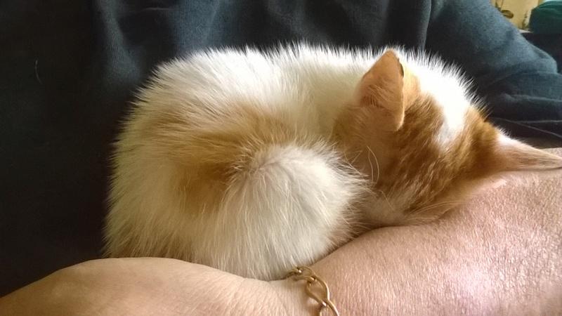 MITSY ( ex SATINE), chaton femelle née en mars 2016 - Pascani - adoptée par Abysse (dpt92) - PARTIE REJOINDRE LES ETOILES le 3 juillet 2017 .... Wp_20143