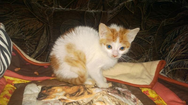 MITSY ( ex SATINE), chaton femelle née en mars 2016 - Pascani - adoptée par Abysse (dpt92) - PARTIE REJOINDRE LES ETOILES le 3 juillet 2017 .... Wp_20145