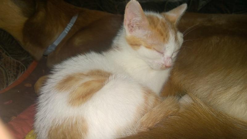 MITSY ( ex SATINE), chaton femelle née en mars 2016 - Pascani - adoptée par Abysse (dpt92) - PARTIE REJOINDRE LES ETOILES le 3 juillet 2017 .... Wp_20151