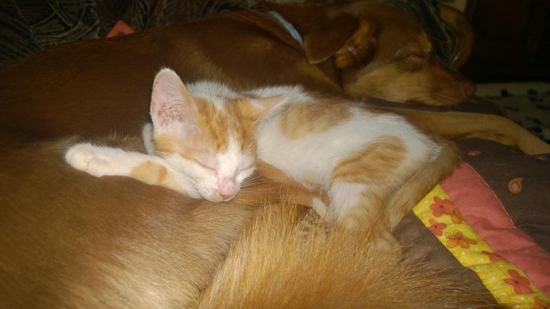MITSY ( ex SATINE), chaton femelle née en mars 2016 - Pascani - adoptée par Abysse (dpt92) - PARTIE REJOINDRE LES ETOILES le 3 juillet 2017 .... Wp_20154