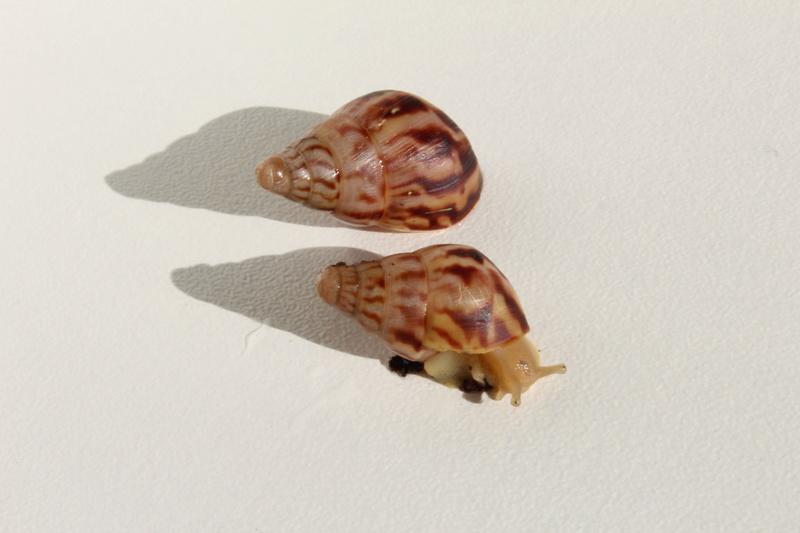 Fulica/Archachatina/Limicolaria/Reticulata/Caracolus (maj 27/08/16) Img_3011