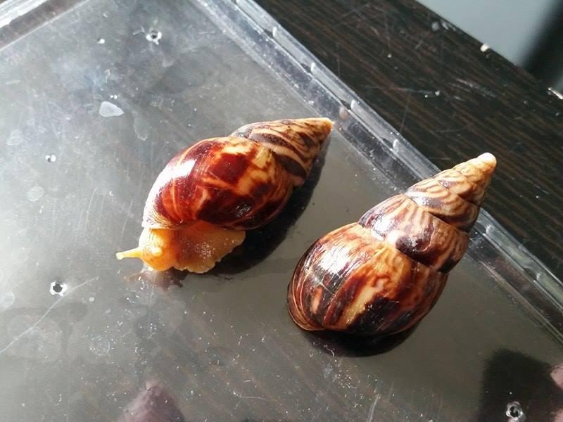Fulica/Archachatina/Limicolaria/Reticulata/Caracolus (maj 27/08/16) Numidi10