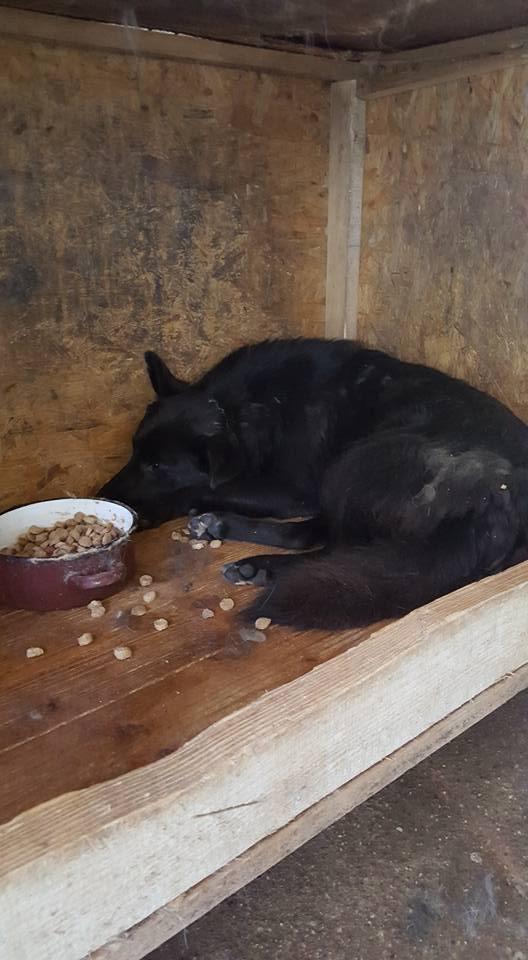 EBONY M-X 4 ans taille moyenne 15KG-FOURRIERE ORASTIE- Un chien noir timide-En pension à Timisoara 13307410