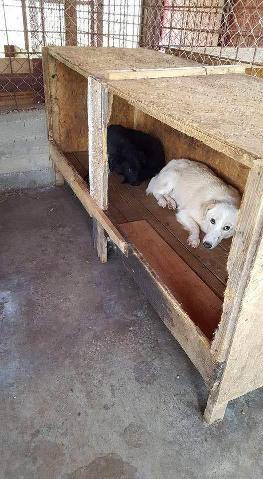 EBONY M-X 4 ans taille moyenne 15KG-FOURRIERE ORASTIE- Un chien noir timide-En pension à Timisoara 13686511