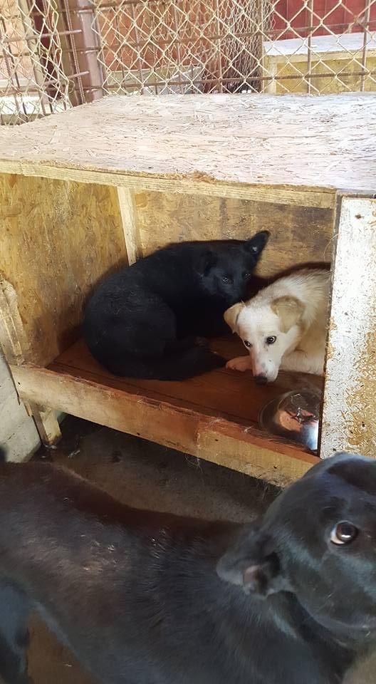 EBONY M-X 4 ans taille moyenne 15KG-FOURRIERE ORASTIE- Un chien noir timide-En pension à Timisoara 13728913