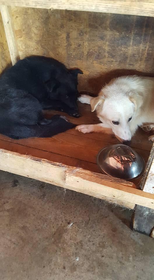 EBONY M-X 4 ans taille moyenne 15KG-FOURRIERE ORASTIE- Un chien noir timide-En pension à Timisoara 13770510