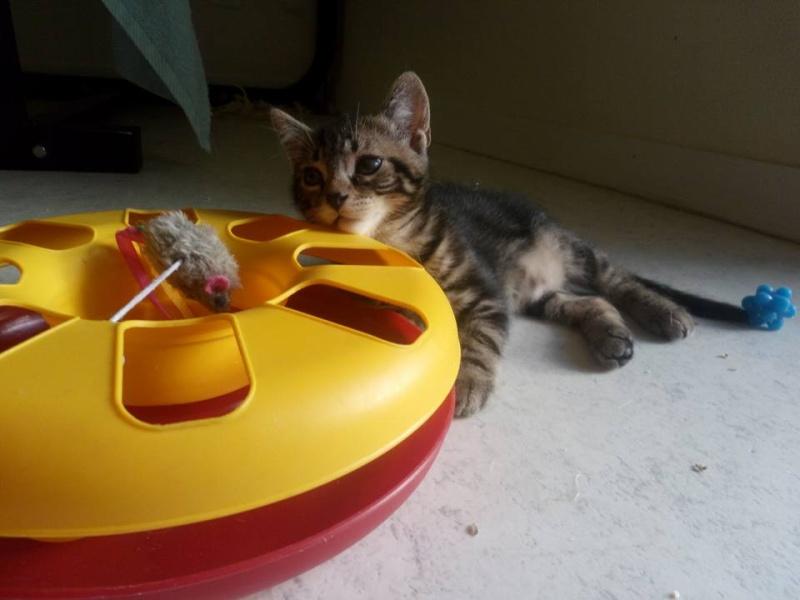Macaron - Tabby - né le 26/04/2016 13494910