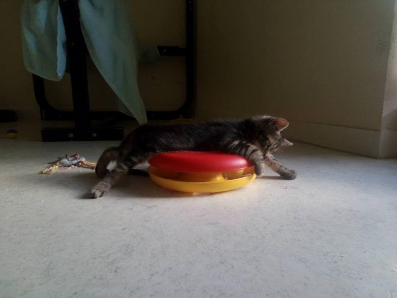 Macaron - Tabby - né le 26/04/2016 13507210