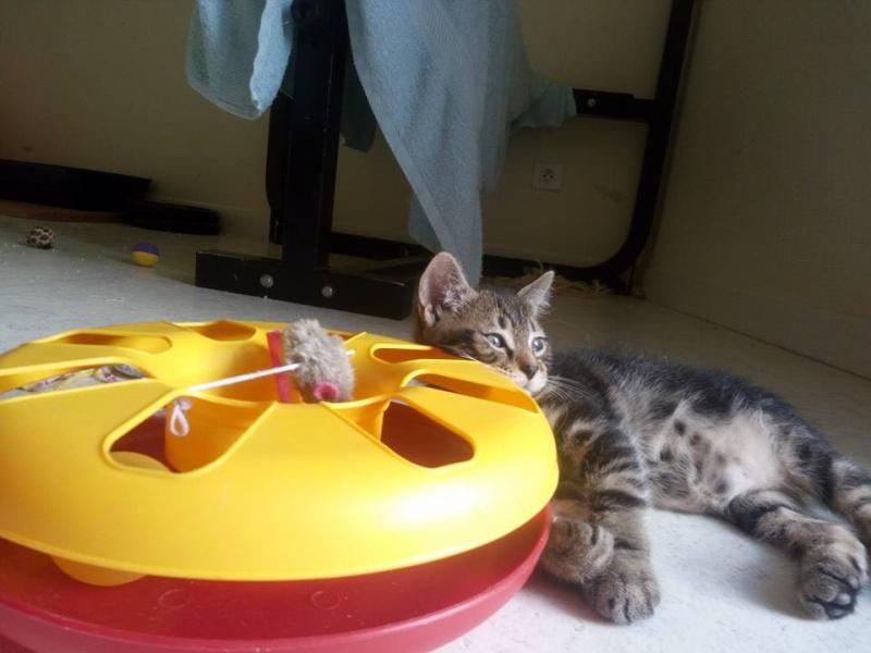 Macaron - Tabby - né le 26/04/2016 13528910