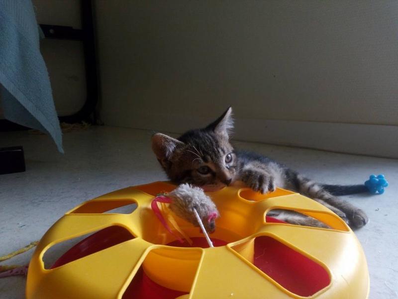 Macaron - Tabby - né le 26/04/2016 13557810