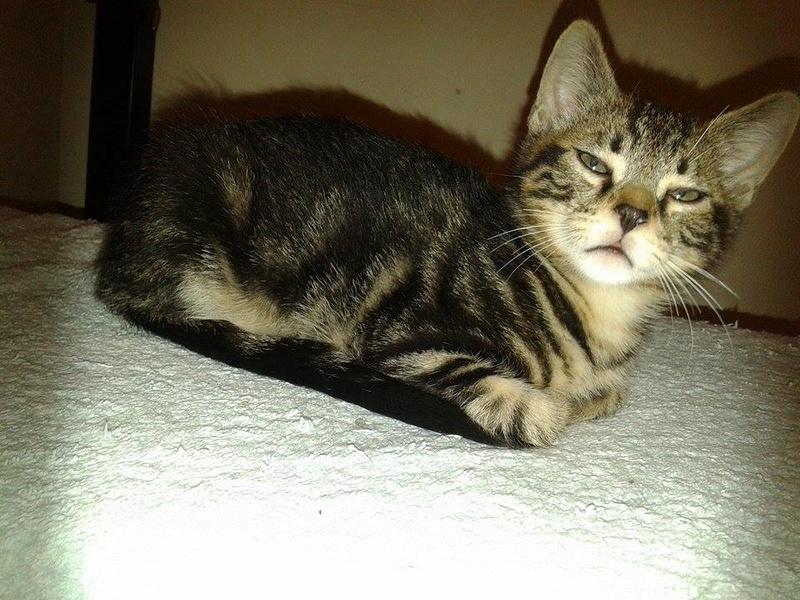 Macaron - Tabby - né le 26/04/2016 13664610