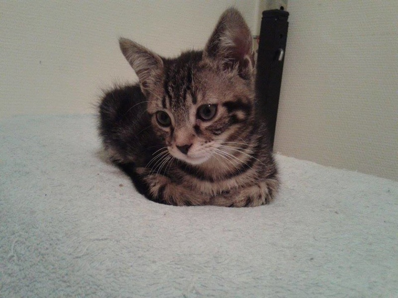 Macaron - Tabby - né le 26/04/2016 13664810