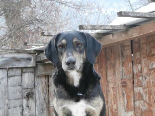 NOUT mâle croisé berger-beauceron né en 2014, chien très sympa  36289910