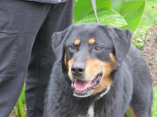 FOXY femelle beauceronne née en 2008 retrouvée attachée à un arbre en permanence 39508710