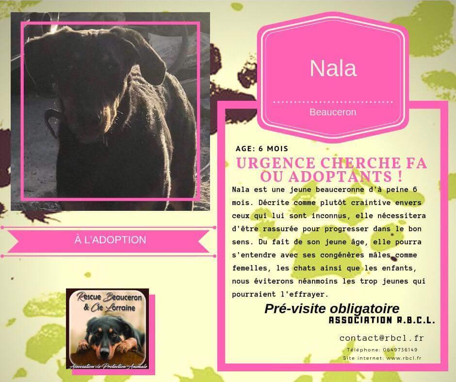 NALA chiot femelle beauceronne de 6 mois abandonnée dans les bois 43557410